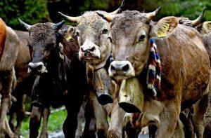Kühe mit Glocken
